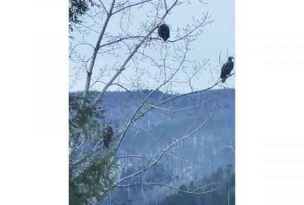 Eagle trio in Hatley Acres