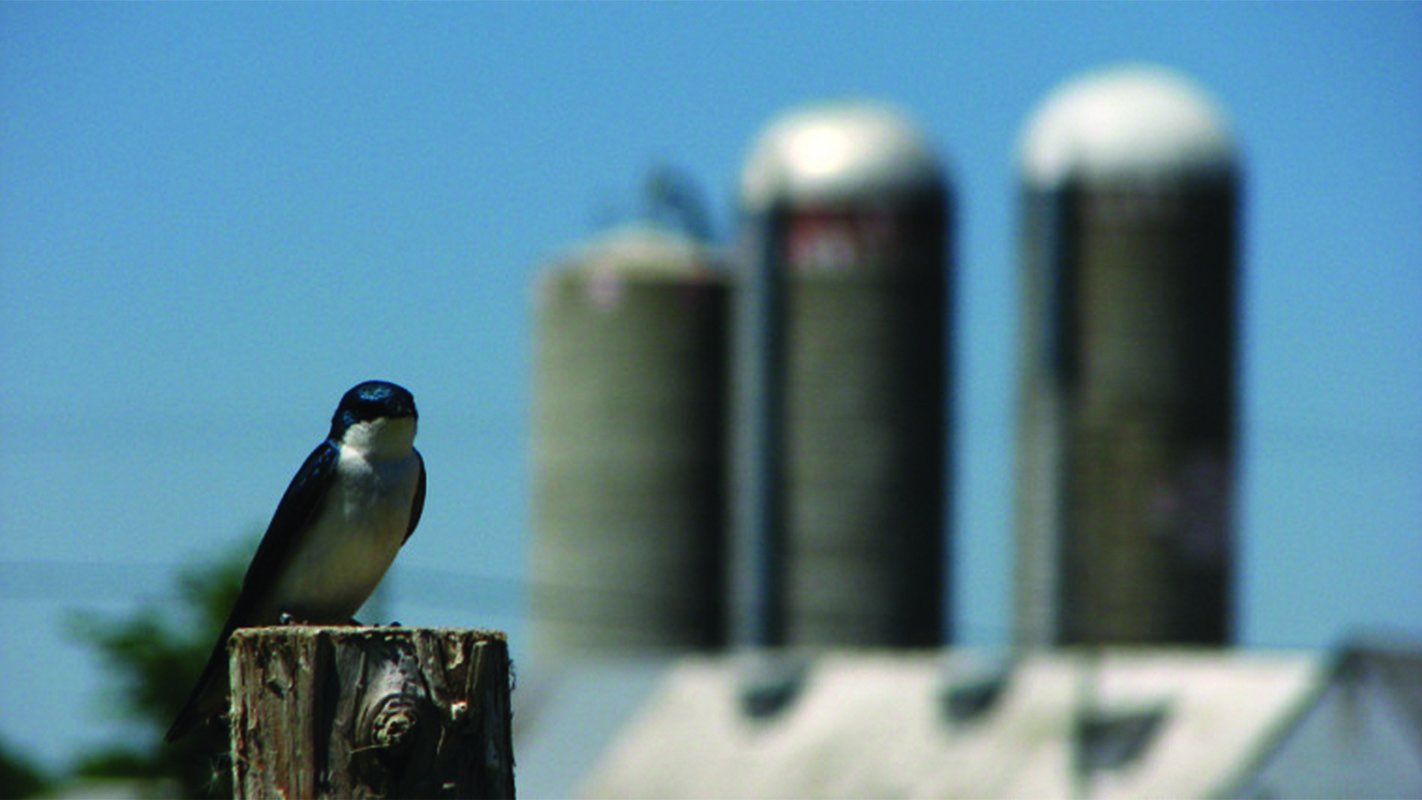 University of Sherbrooke concludes six-year study on tree swallows