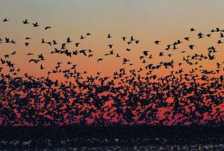 Massive flocks return to Danville's  Burbank Pond